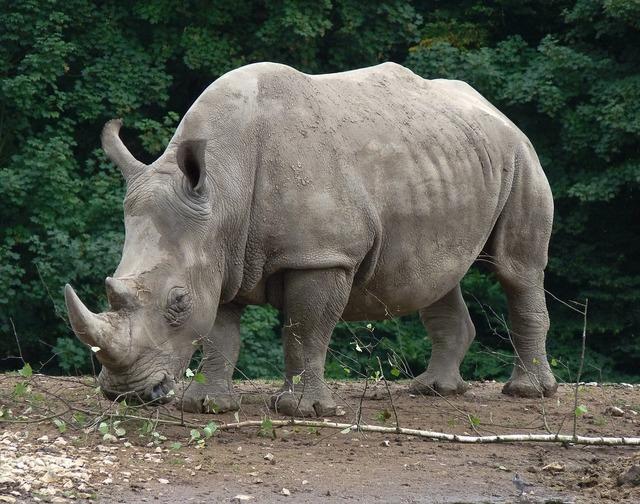 Rhinoceros zoo wild animal.