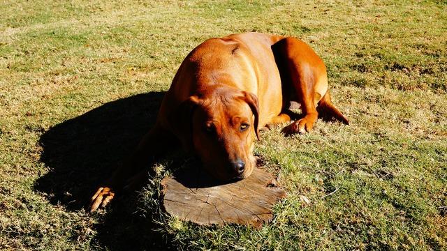 Rhodesian ridgeback dog pet, animals.