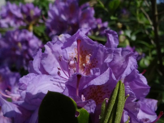 Rhododendron purple plant, nature landscapes.
