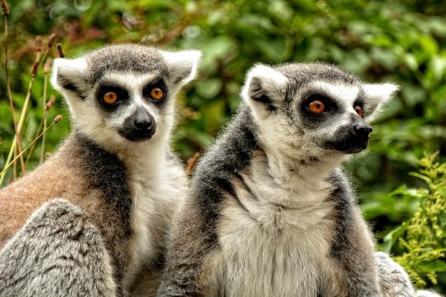 Ring tailed lemur lemur catta lemur.