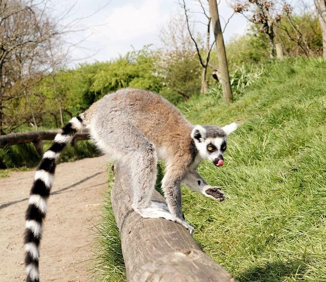 Ring tailed lemur lemur catta primate.