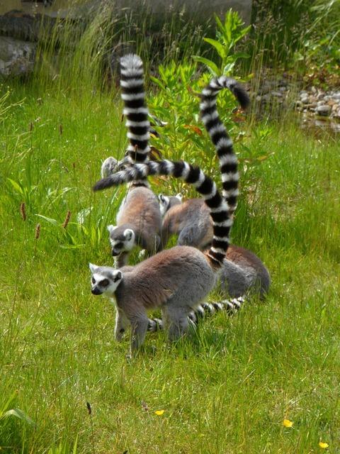 Ring tailed lemur prosimians lemurs.