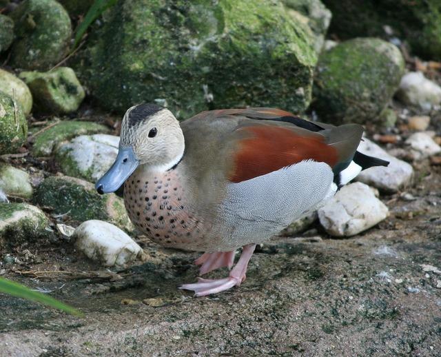 Ringed teal callenetta leucophrys blue bill duck, nature landscapes.