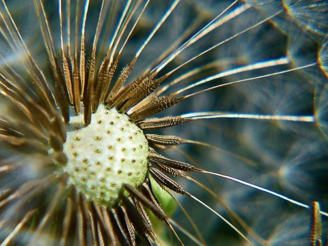 Ripe fruit dandelion macro.