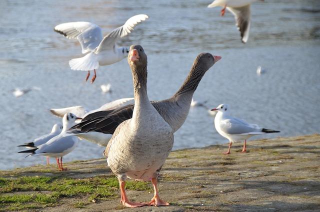 River birds wild geese.