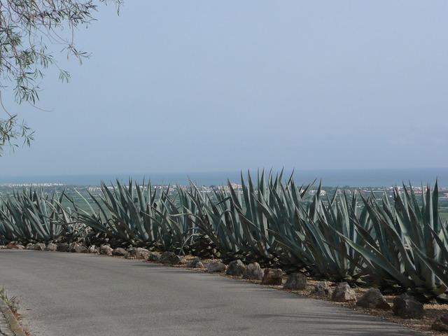 Roadside spain cactus.