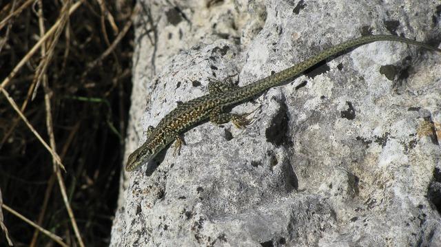 Rock lizard dry.