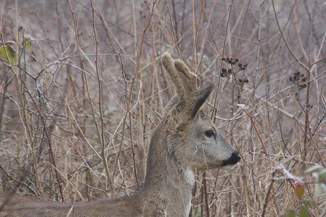 Roe deer fauna wild animal.