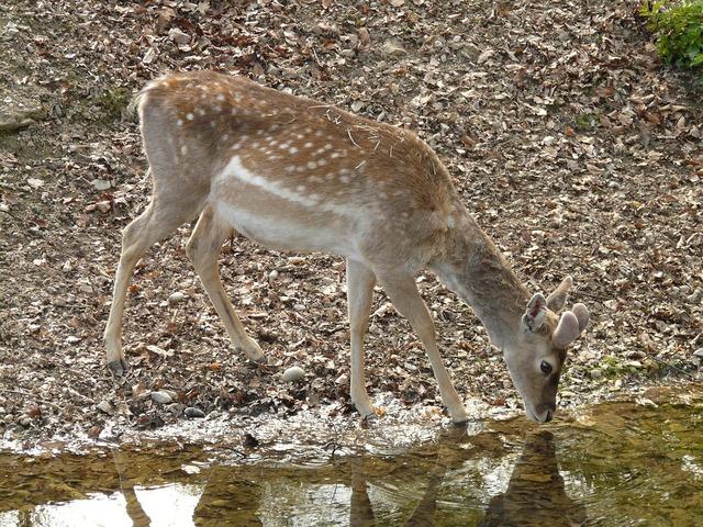 Roe deer fawn capreolus capreolus, food drink.