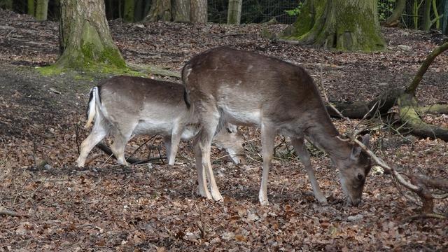 Roe deer forest wild, nature landscapes.