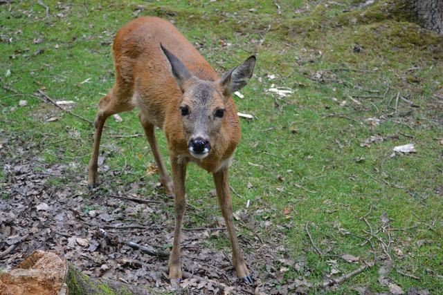 Roe deer zoo animal world, nature landscapes.