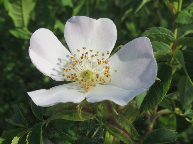 Rosa canina dog rose blossom, nature landscapes.