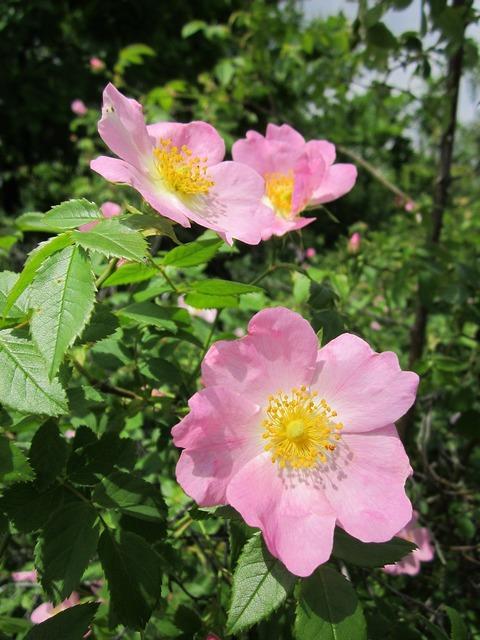 Rosa canina dog-rose shrub, nature landscapes.