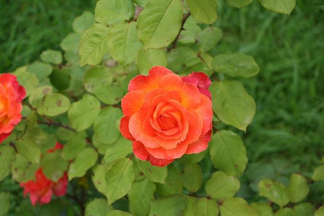 Rosa red flower, nature landscapes.