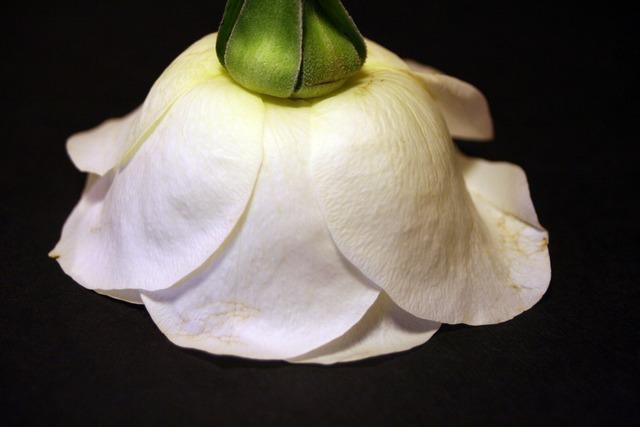 Rosa white flower, nature landscapes.