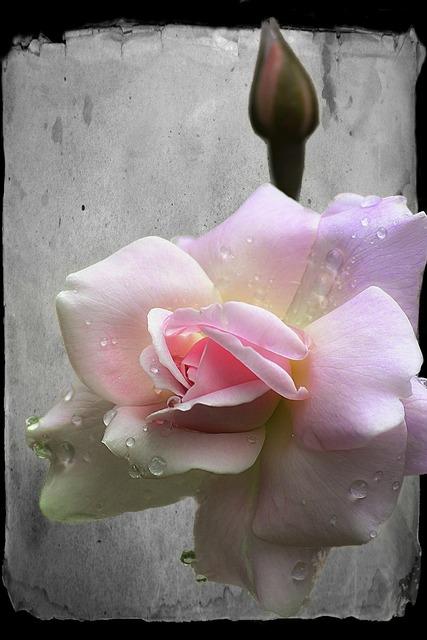 Rose bud flower, nature landscapes.