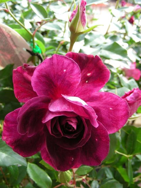 Rose deep pink deep pink rose.