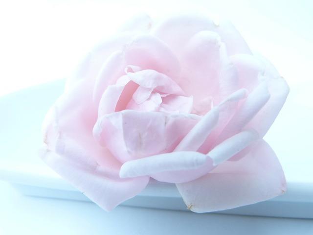 Rose flower frozen, emotions.