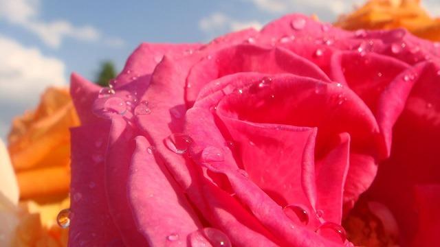 Rose flower petal, emotions.