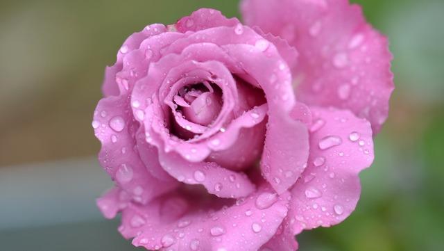 Rose flower pink.