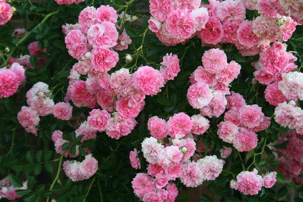 Rose flowers pink.