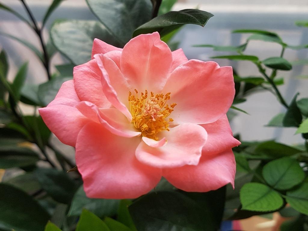 Rose flowers pink, nature landscapes.