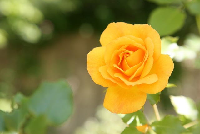 Rose flowers spring, nature landscapes.