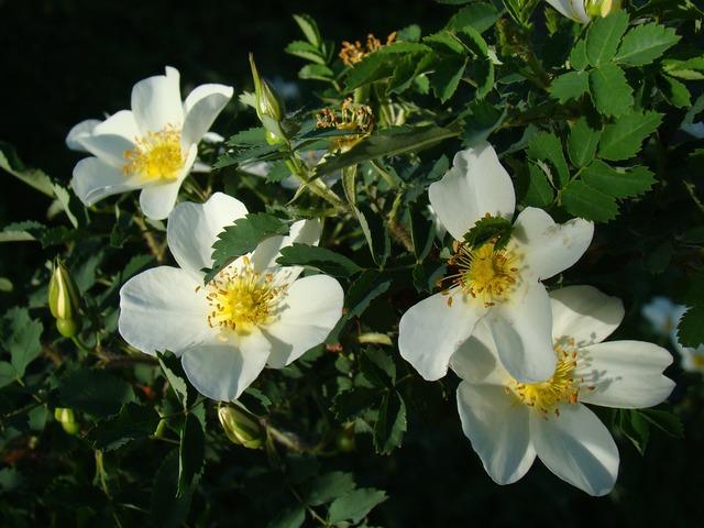 Rose hip flowers summer.
