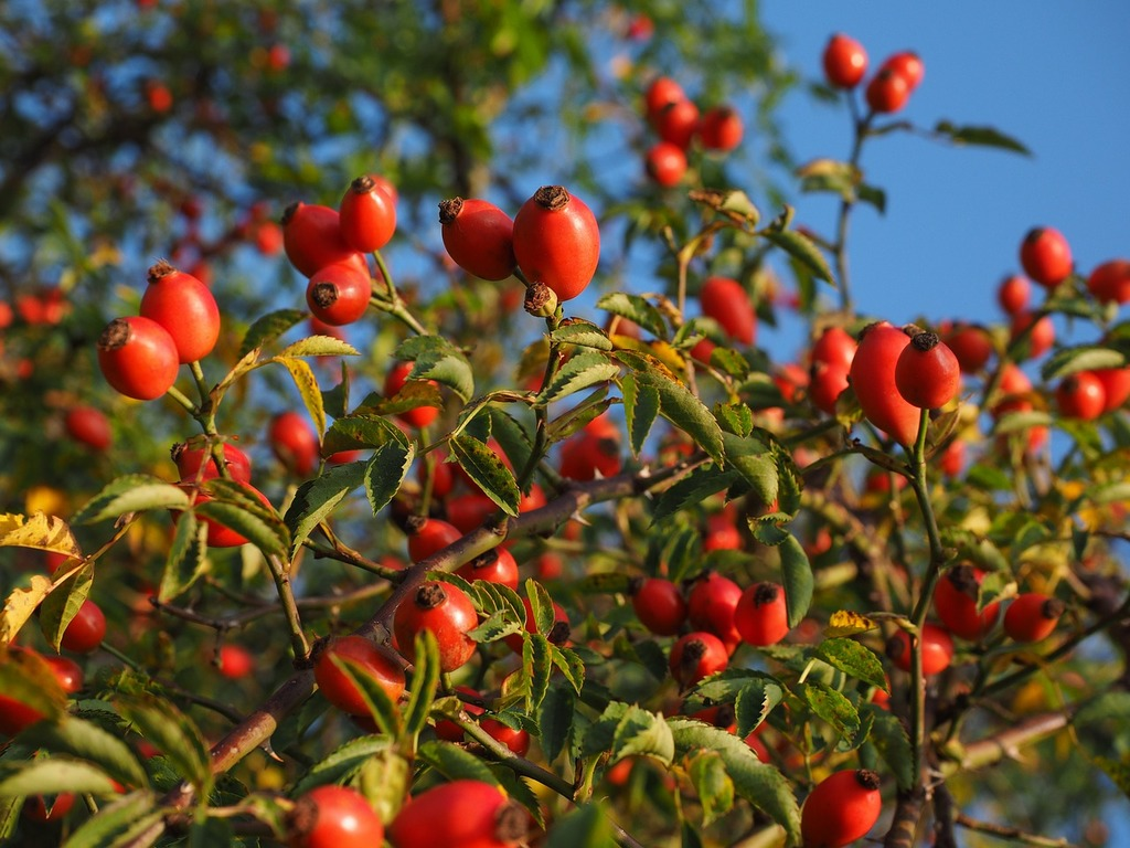 Rose hip fruit red, food drink.