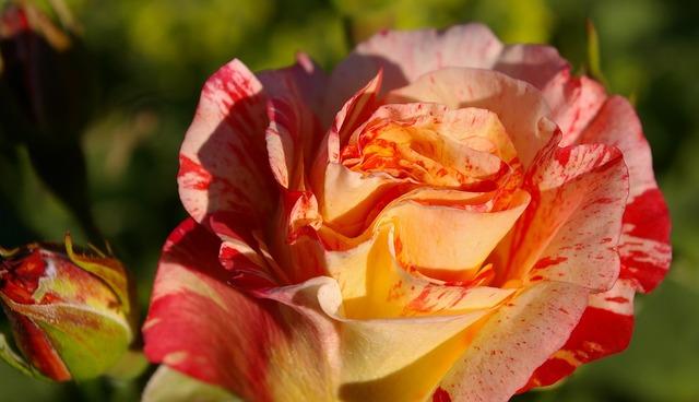 Rose painter rose bi color.