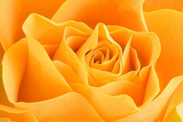 Rose petals yellow, backgrounds textures.