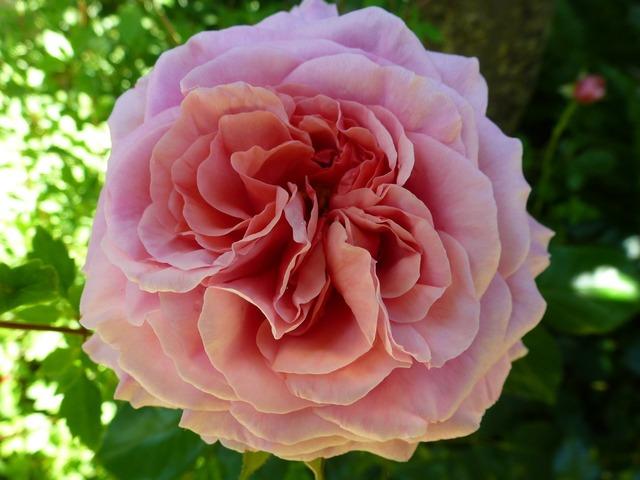 Rose pink rose floral, nature landscapes.