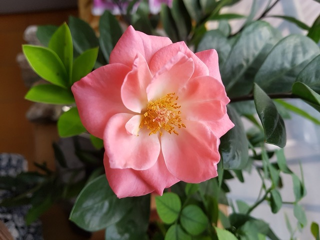 Rose pink roses flowers.