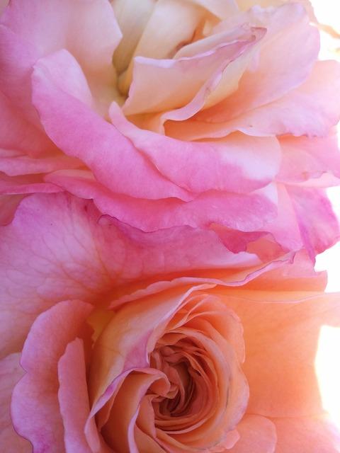 Rose pink wild rose, nature landscapes.
