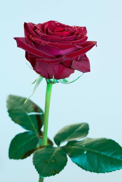 Rose plant flower, nature landscapes.