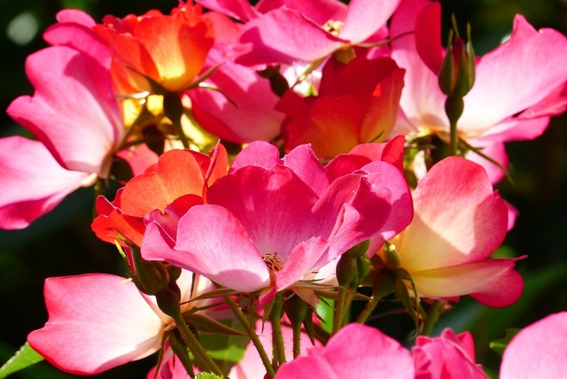 Rose plant flowers, nature landscapes.