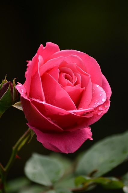 Rose rain drops, nature landscapes.