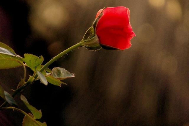 Rose red flower, nature landscapes.