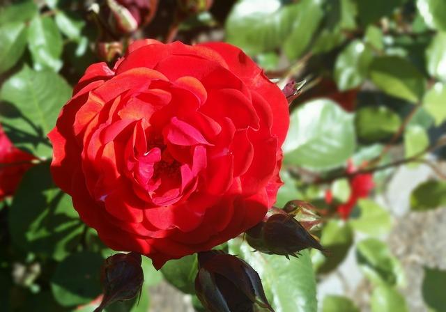 Rose red nice.