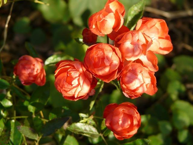 Rose rose bud rosebush, nature landscapes.