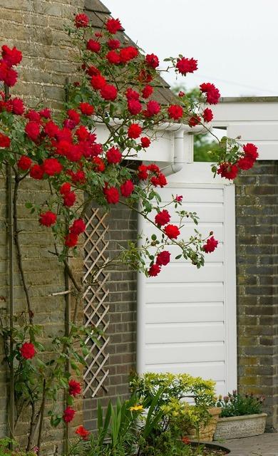 Rose roses flower, nature landscapes.