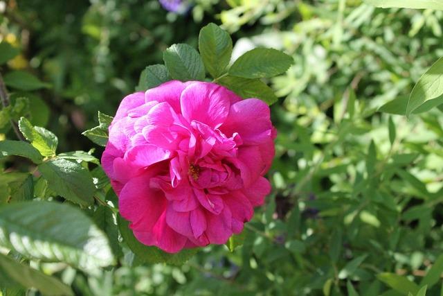 Rose summer flower, nature landscapes.