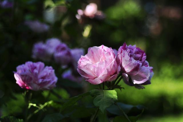 Rose white red.