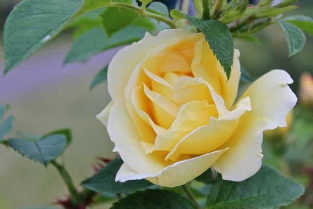 Rose yellow summer.