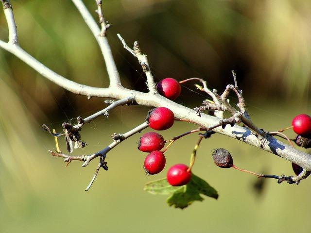 Rosehip berries wild, food drink.