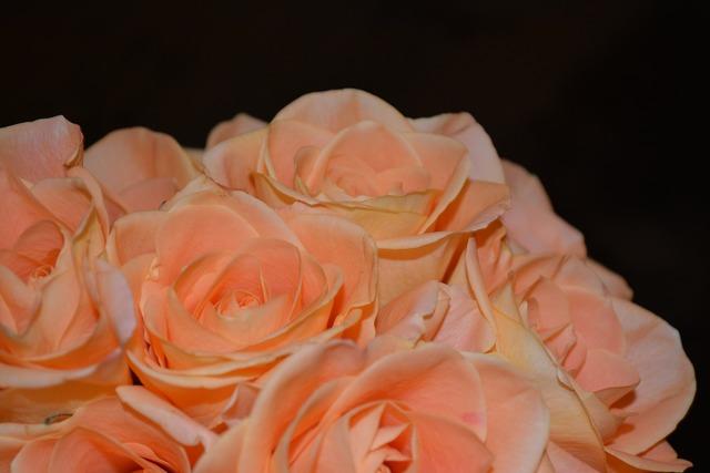 Roses bouquet arrangement, nature landscapes.