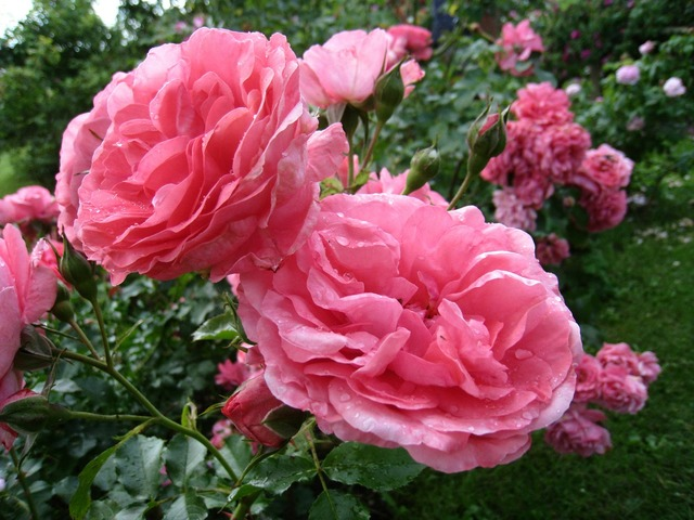 Roses double pink.
