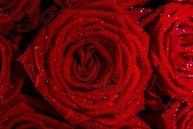 Roses flowers red, nature landscapes.