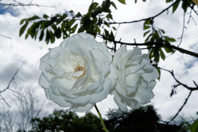 Roses flowers white.