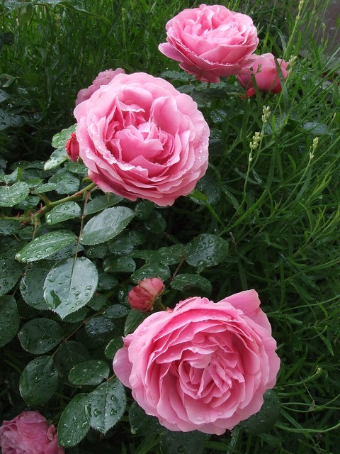 Roses pink roses garden roses.